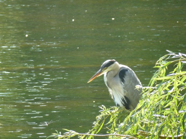 Grey Heron in Hyde Park, London Global Water Forum/Flickr
