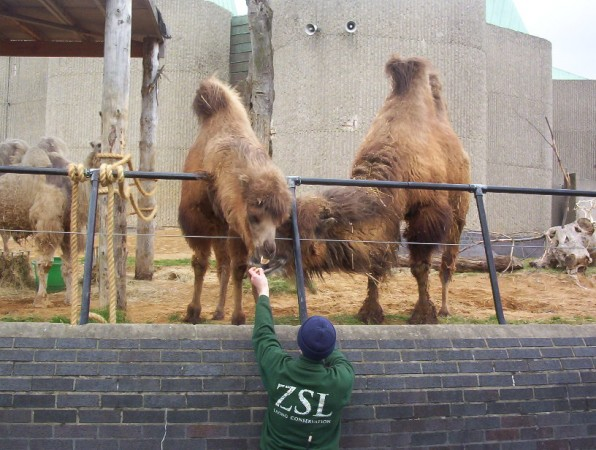 Camels at London Zoo jf1234/Flickr